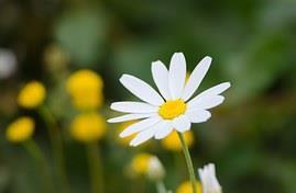 Bio insecticida y acaricida en base a chrysanthemum coronarium